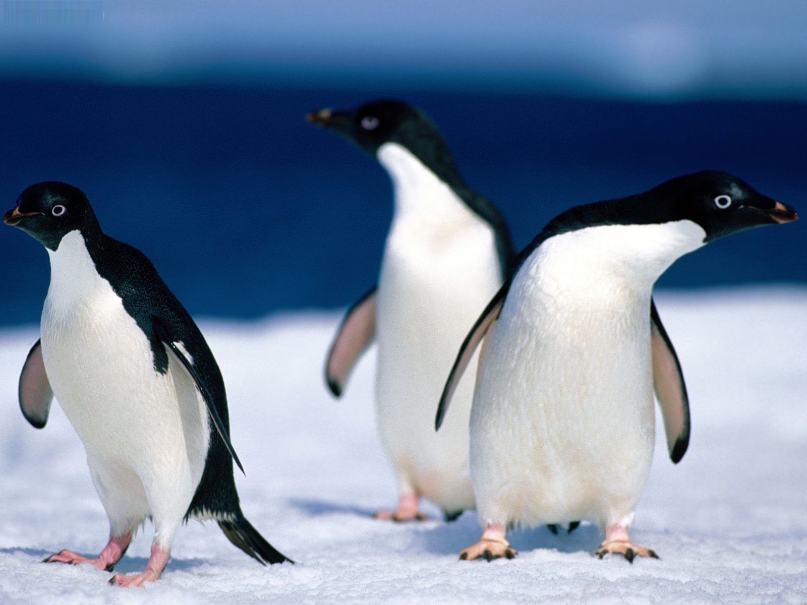 Adelie Penguin - Facts  Habitat  Behavior  Pictures  Life Cycle    Cute Adelie Penguin