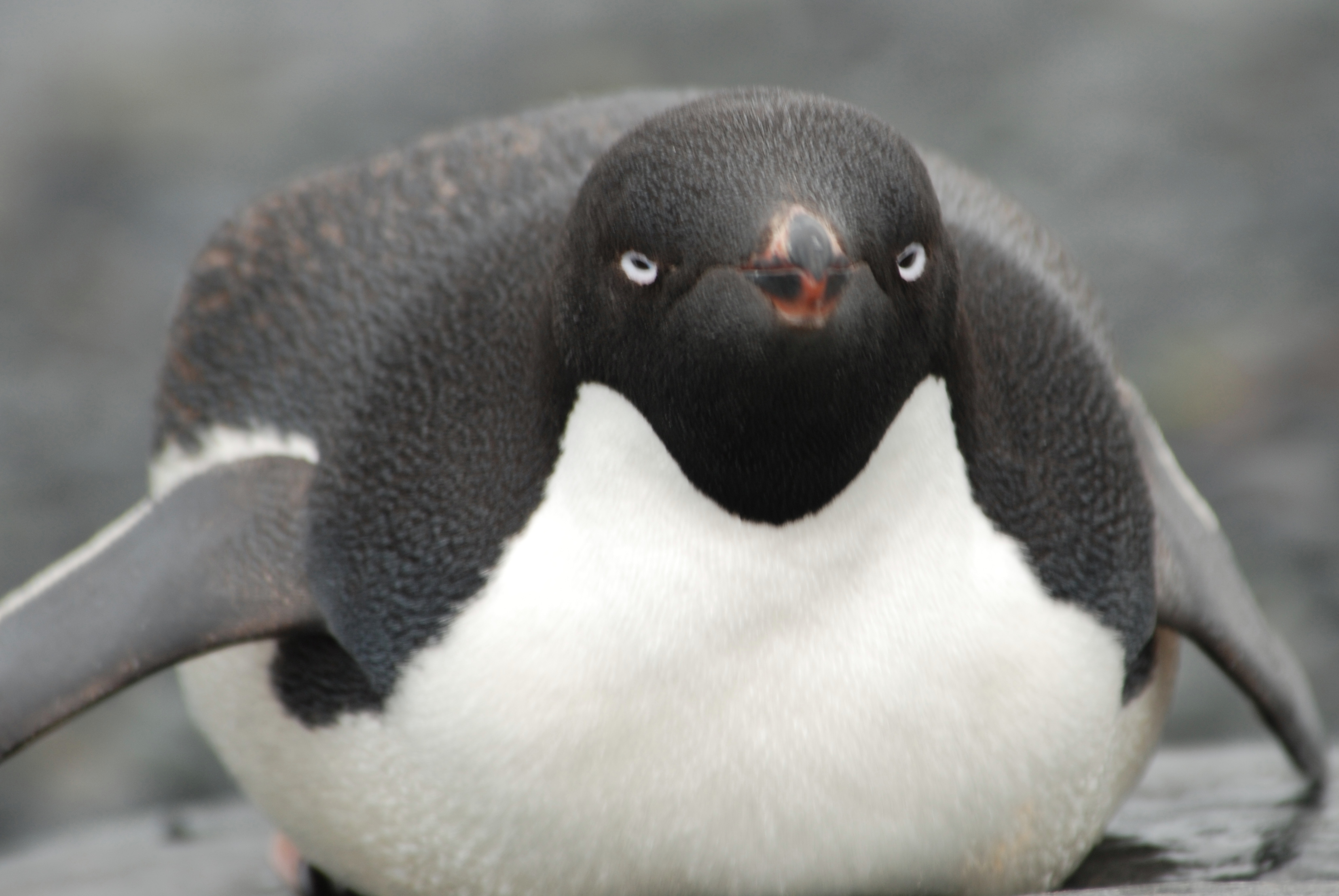 Images of adelie penguins - photo#26