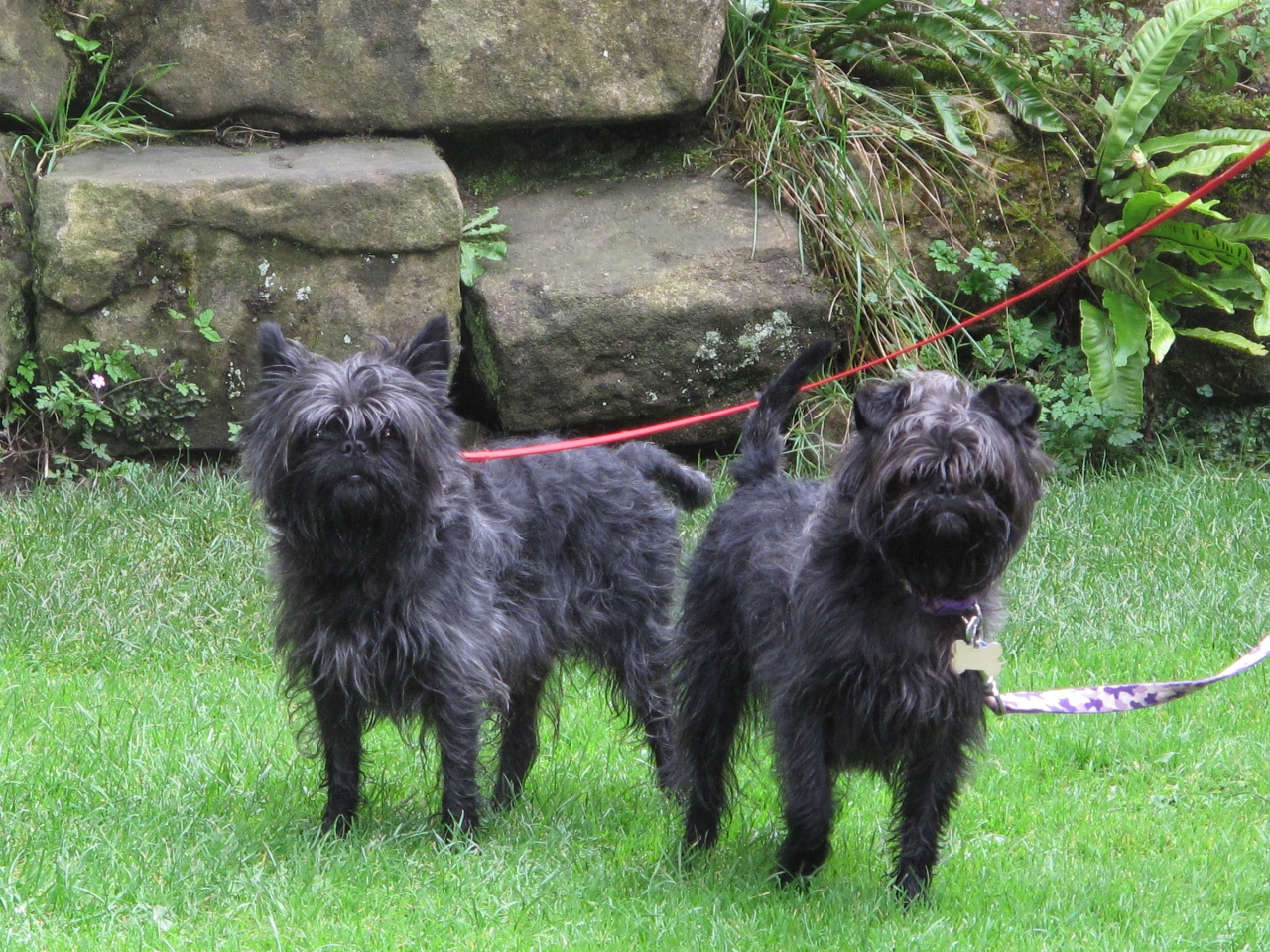 Affenpinscher  Puppies, Information, Pictures, Facts, Behavior