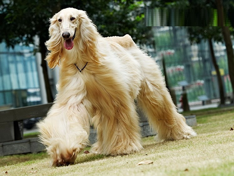 Afghan Hound  Pictures, Puppies, Facts, Behavior, Life Cycles