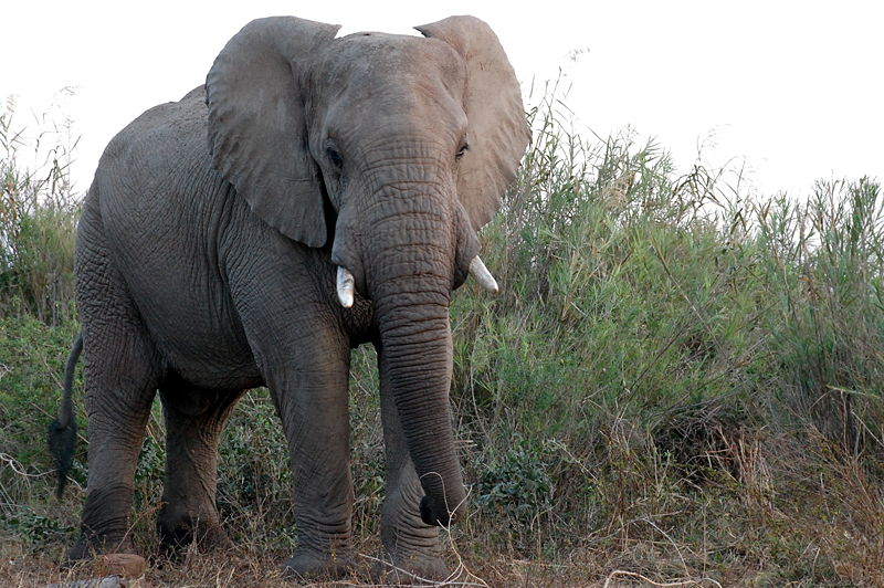 African Forest Elephant - Facts, Diet, Behavior, Lifestyle ...
