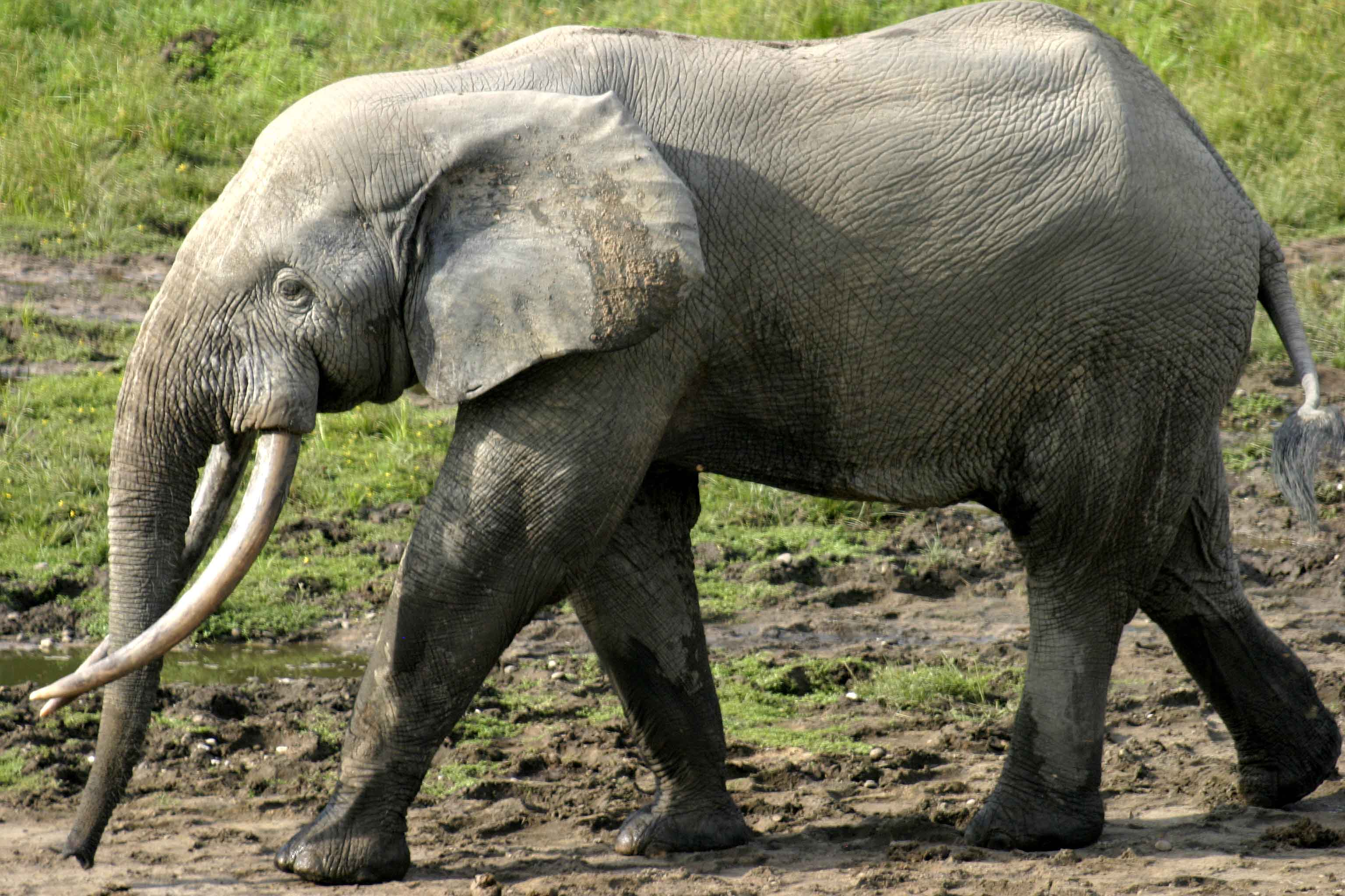 African Forest Elephant  Facts, Diet, Behavior, Lifestyle, Pictures
