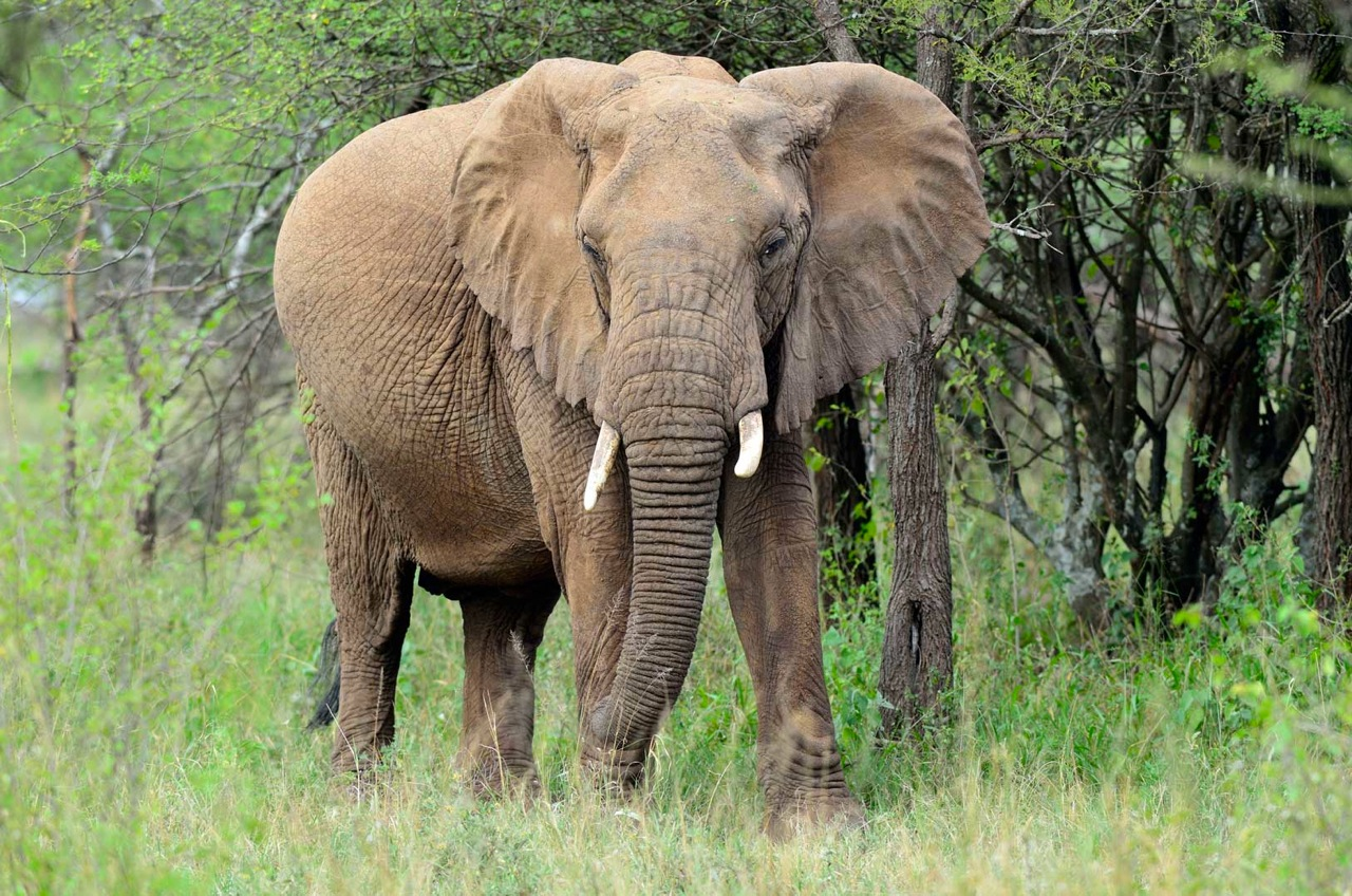African Forest Elephant | Bed Mattress Sale