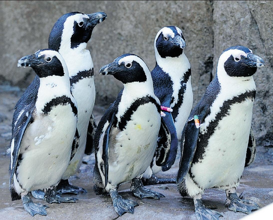 African Penguin  Penguin Facts and Information