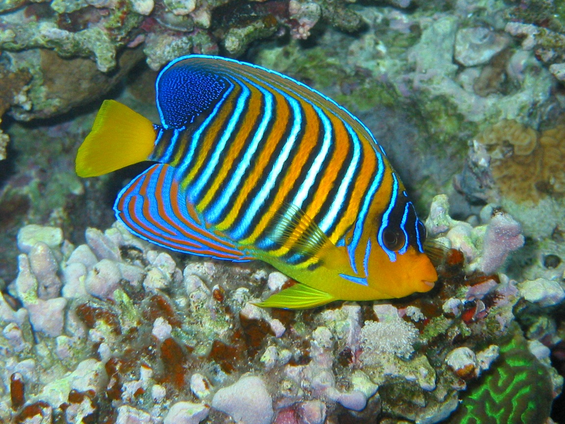 Angelfish diet breeding facts pictures habitat for Are fish animals