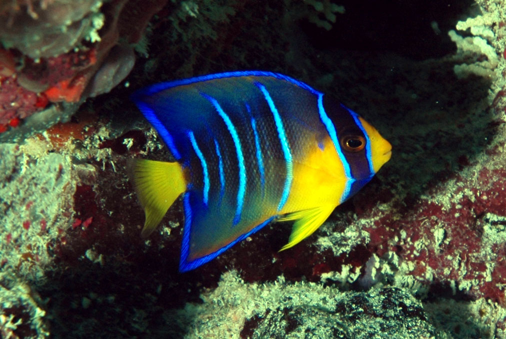 Angelfish - Diet, Breeding, Facts, Pictures, Habitat, Behaviour ...
