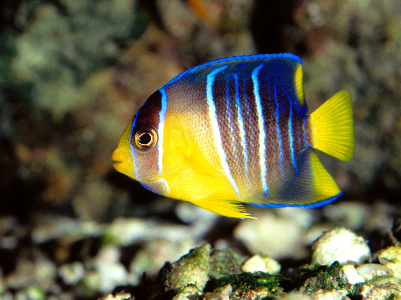 Angelfish diet breeding facts pictures habitat for Freshwater fish facts