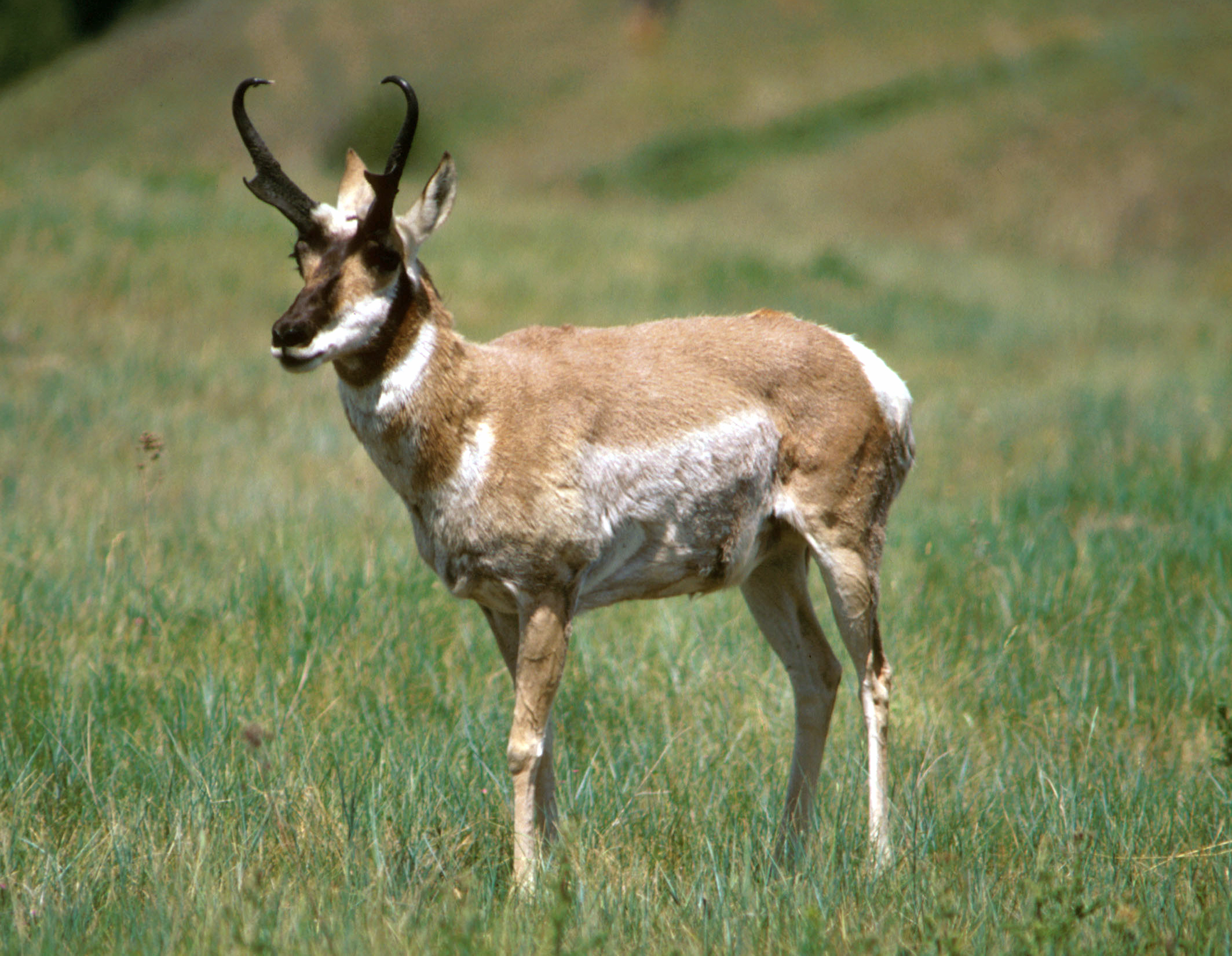 Antelope Pictures Diet Breeding Life Cycle Facts