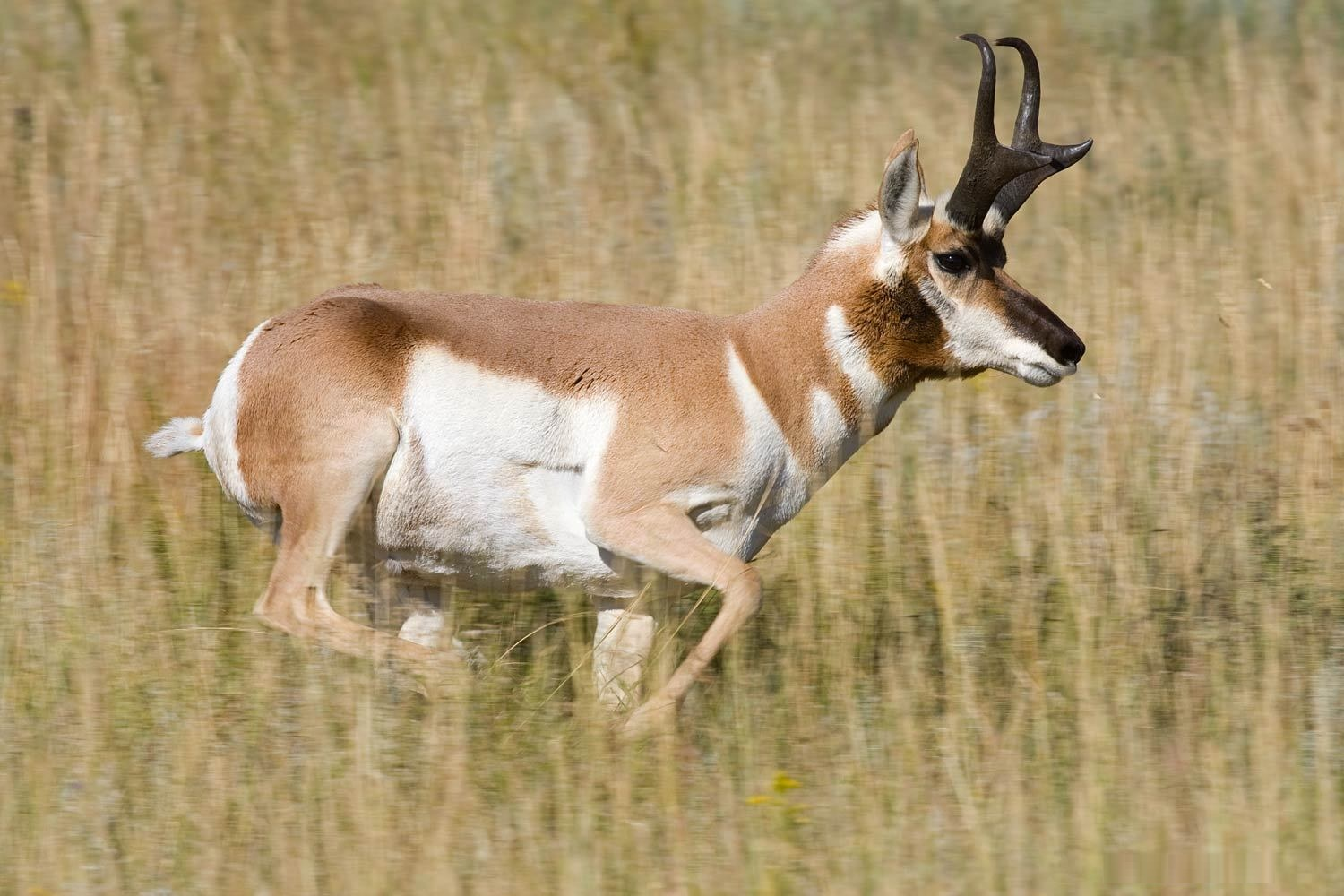Antelope - Pictures, Diet, Breeding, Life Cycle, Facts ...