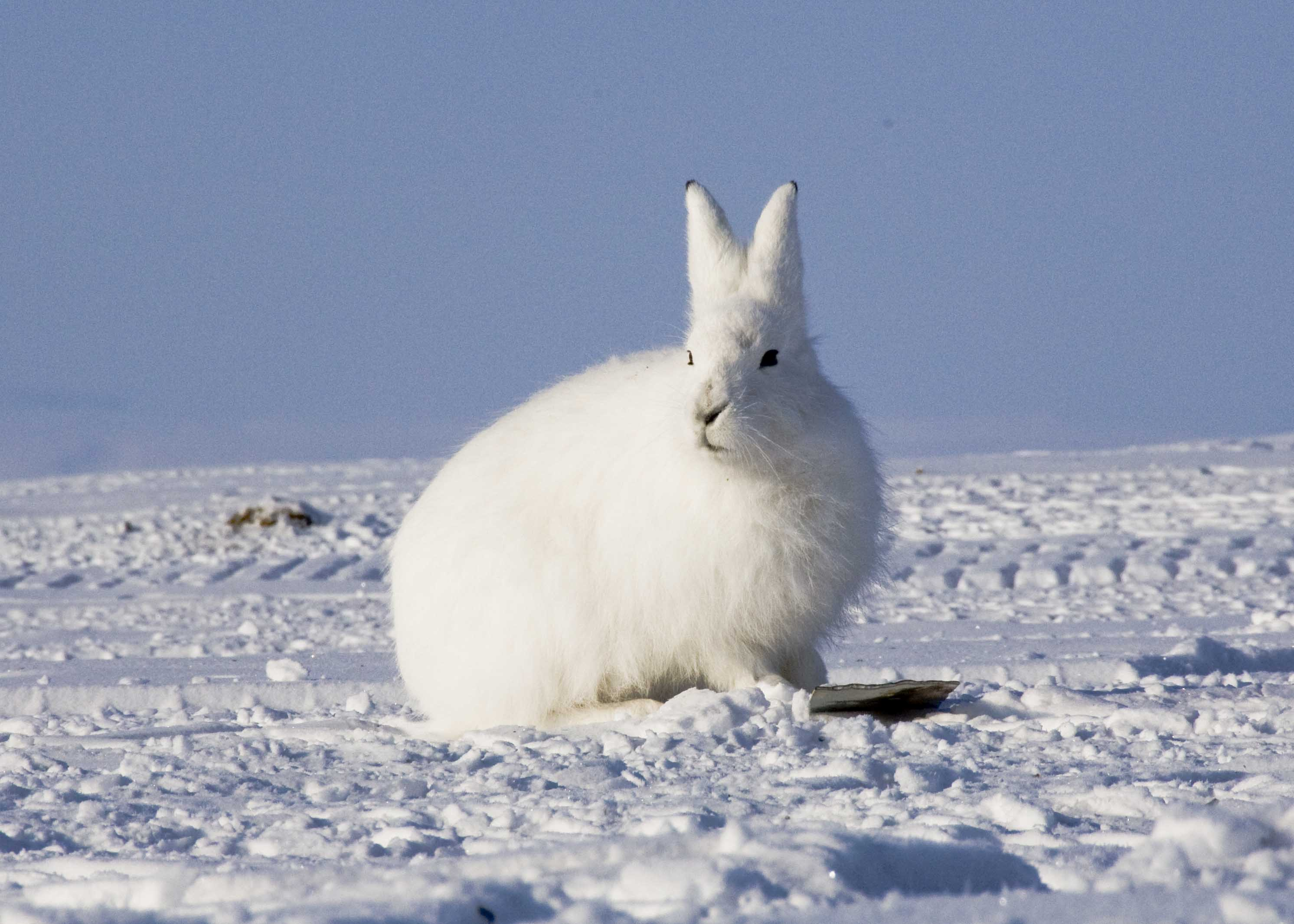 Arctic Hare on Tundra Food Chain Pictures