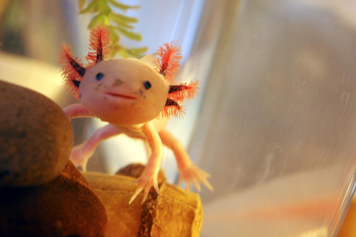Axolotl pictures diet breeding life cycle facts for Mexican walking fish for sale