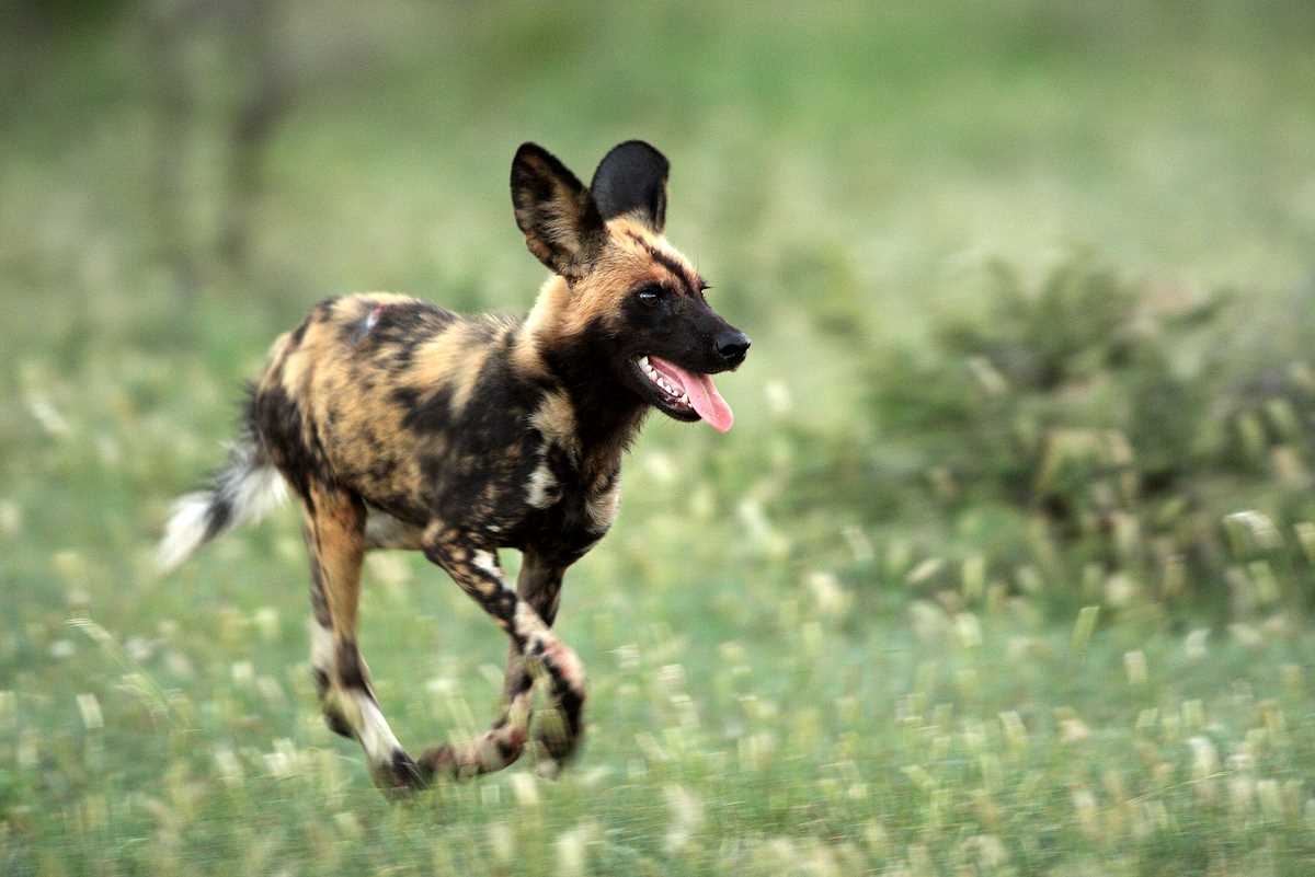 African Wild Dog Breeding Facts