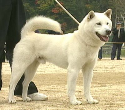 Hokkaido (dog) Ainu Dog Pictures Diet Facts Habitat Behaviour Life Cycles