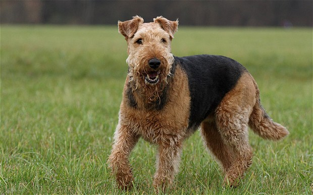 Airedale Terrier - Pictures, Diet, Breeding, Life Cycle, Facts ...