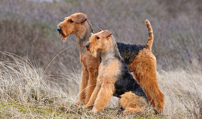 Working airedale terrier breeders uk