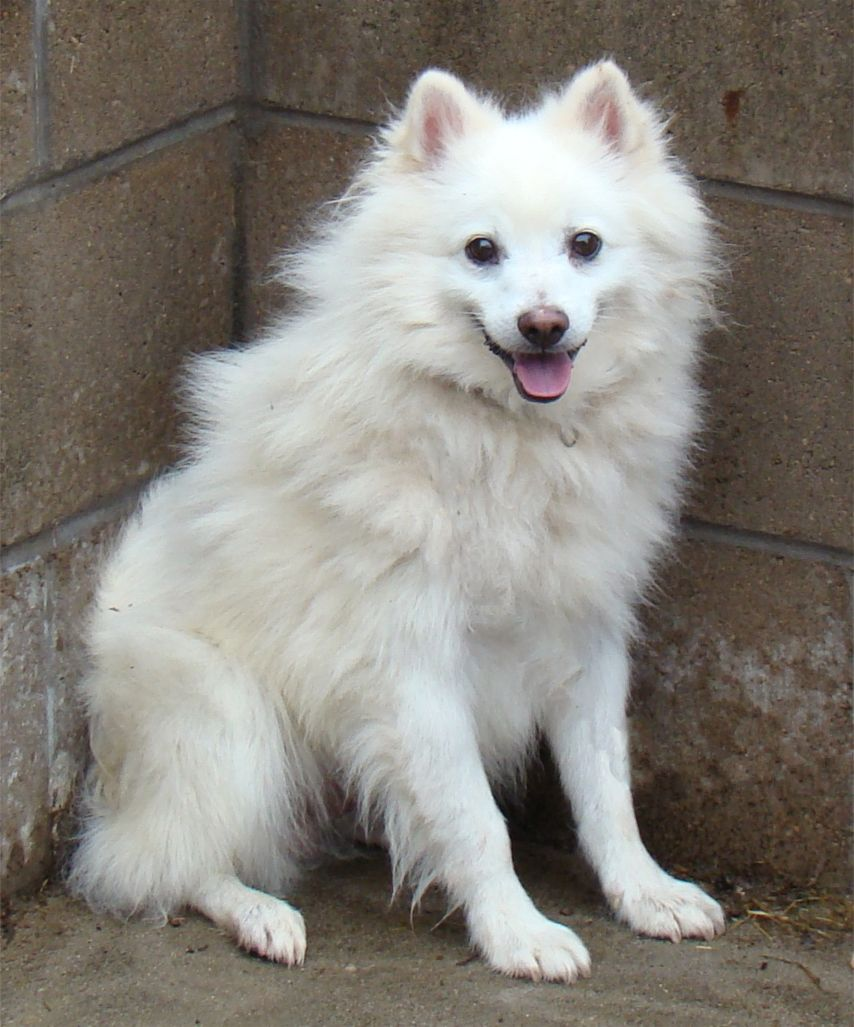 American Eskimo Dog - Pictures, Diet, Breeding, Life Cycle ...