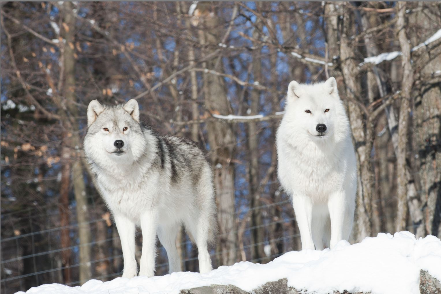 Arctic Wolf - Pictures, Diet, Breeding, Life Cycle, Facts ...