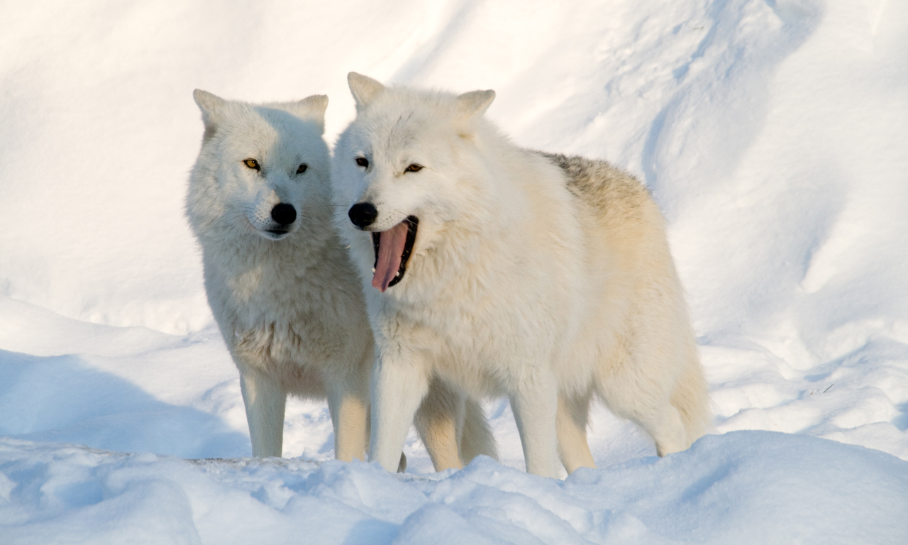 related pictures arctic wolves - photo #14