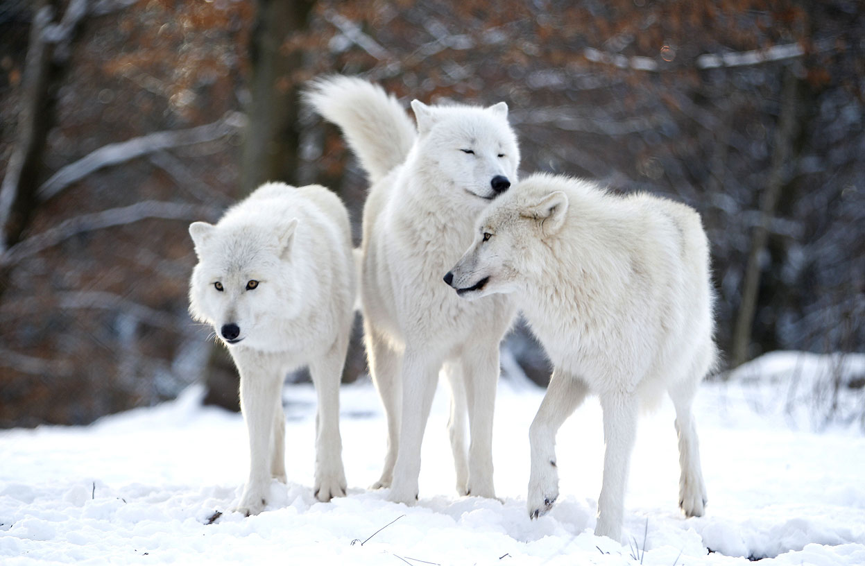 related pictures arctic wolves - photo #10