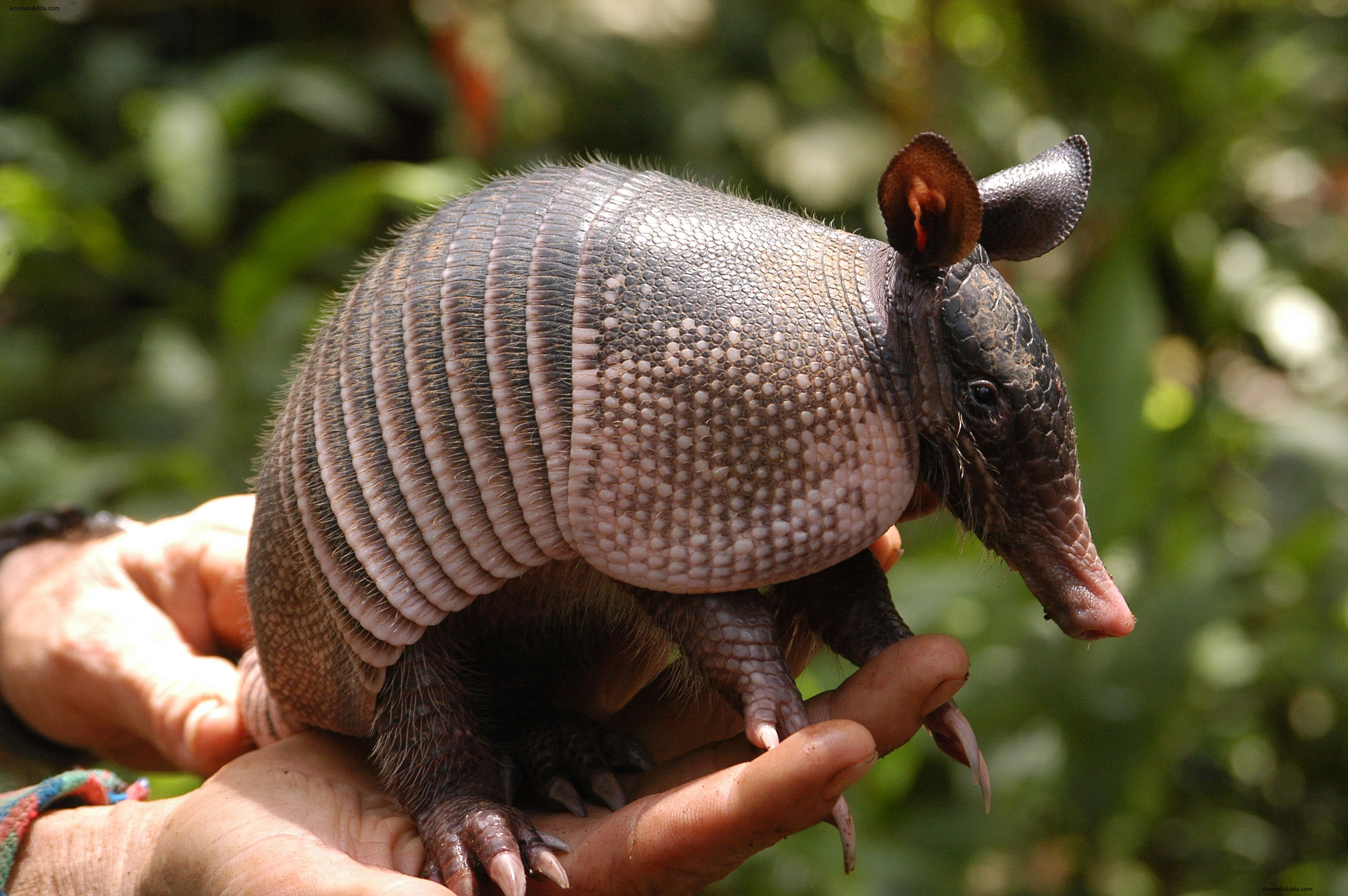 Behavior Giant Armadillo
