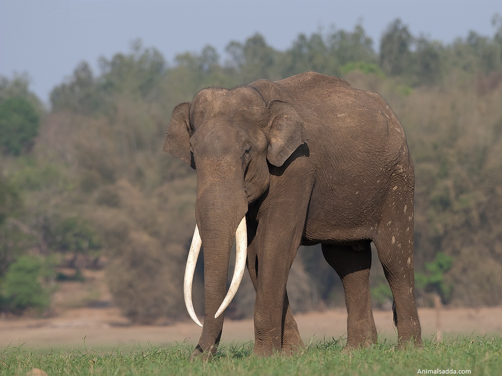Asian Elephant - Pictures, Diet, Breeding, Life Cycle ...