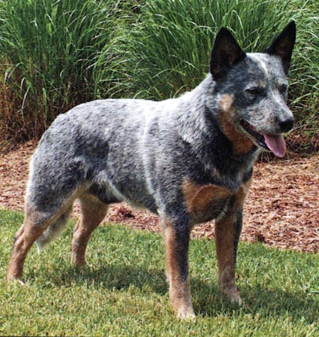 Kelpie Cross Cattle Dog Puppies For Sale