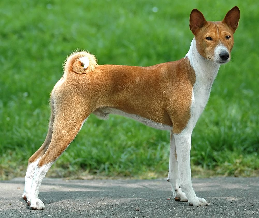 Basenji Dog - Pictures, Diet, Breeding, Life Cycle, Facts, Habitat ...