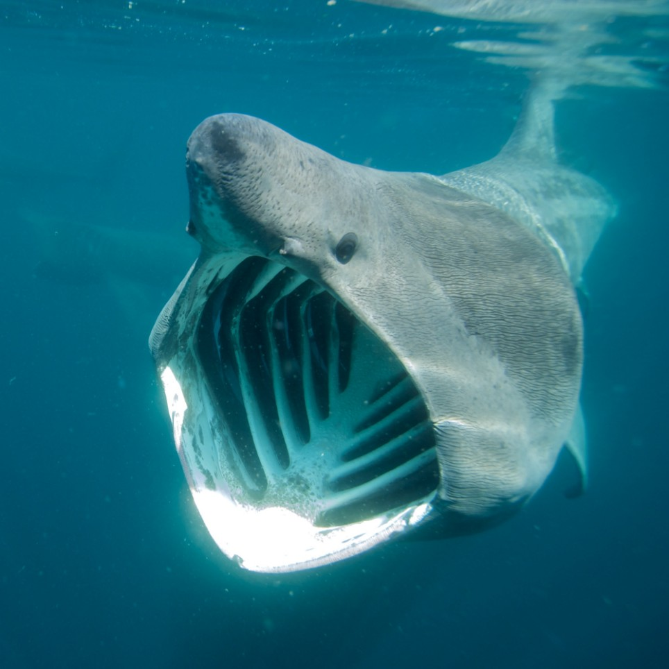 Basking shark pictures diet breeding facts habitat for What do fish see