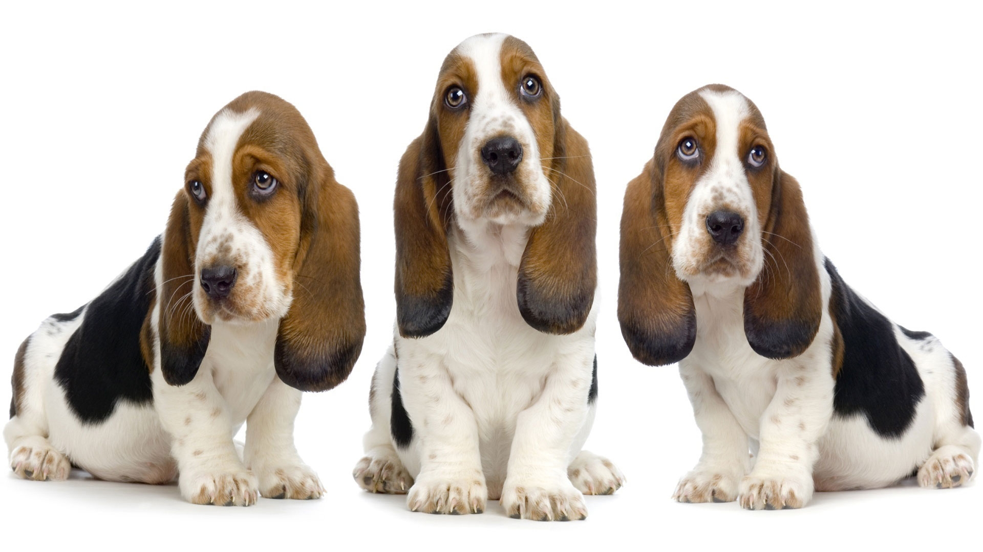 Basset Hound Breed Information  Vetstreet