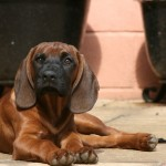 Bavarian Mountain Hound