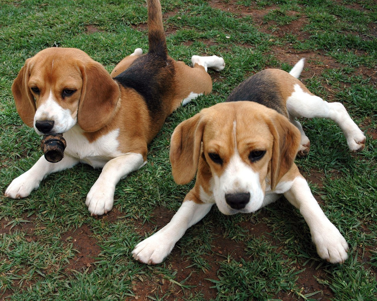 Beagle - Puppies, Pictures, Facts, Diet, Habitat, Behavior, Breeding ...
