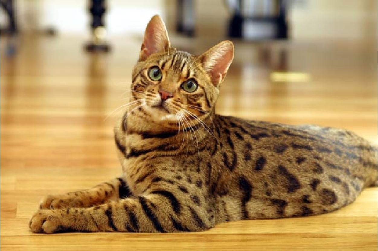 A Bengal Cats Personality Bengal Cat - Facts, Pi...