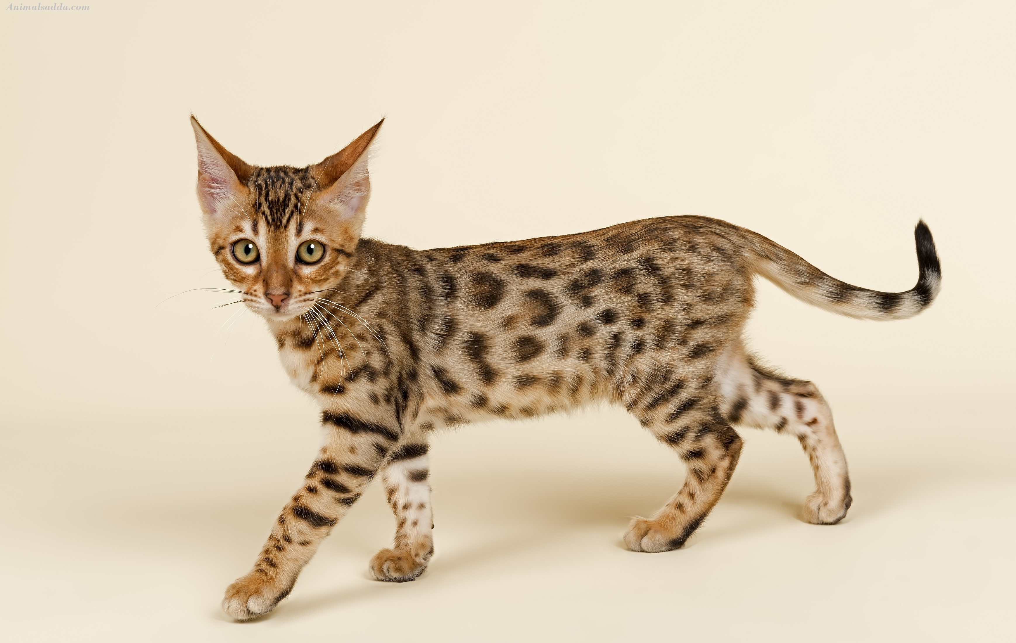 Information on the bengal cat