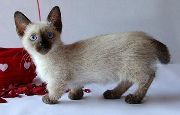 Munchkin Cat Breeders Rescue Pictures Facts Care