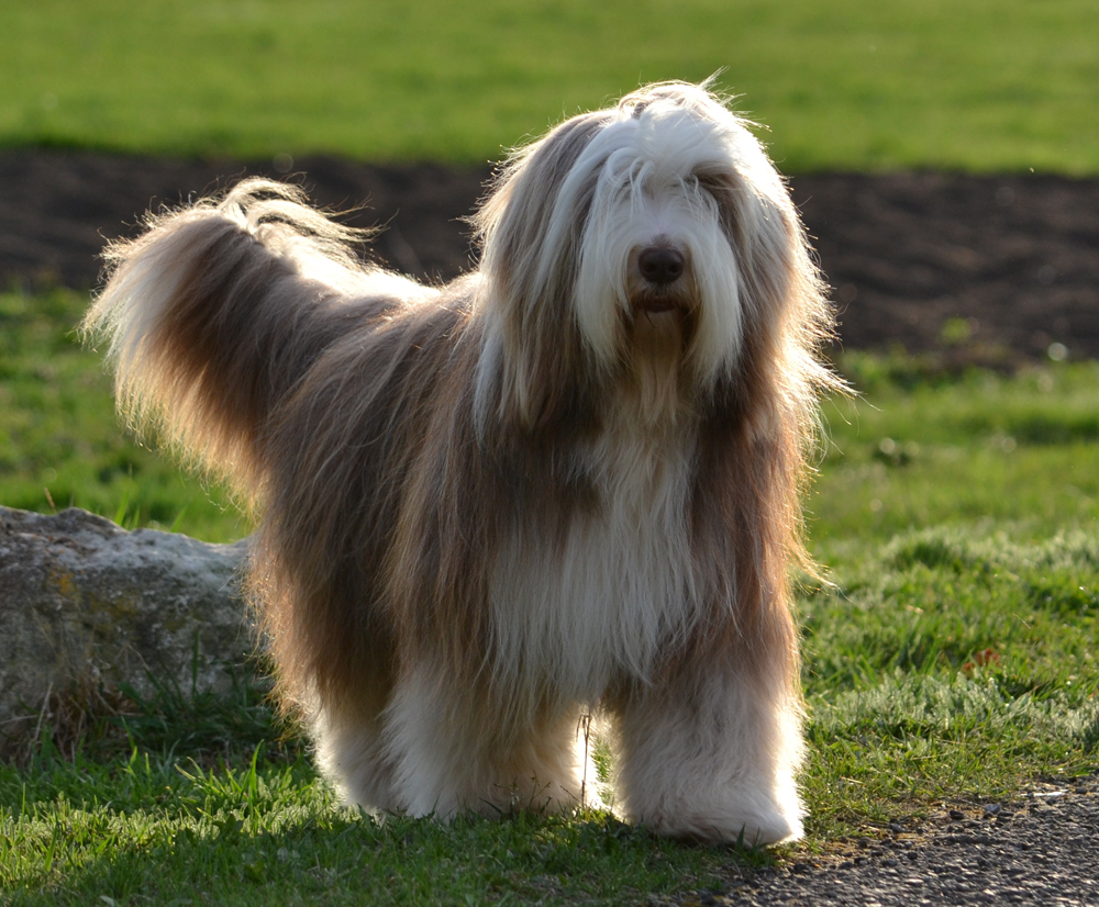 Bearded Collie - Rescue, Breeders, Characteristics ...