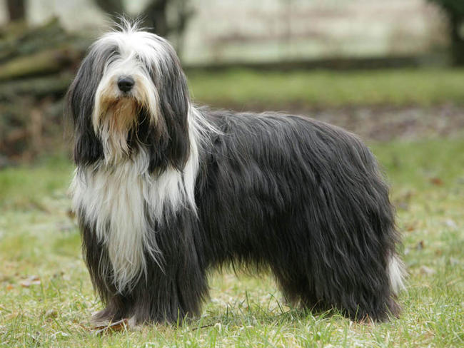 Bearded Collie Rescue Breeders Characteristics