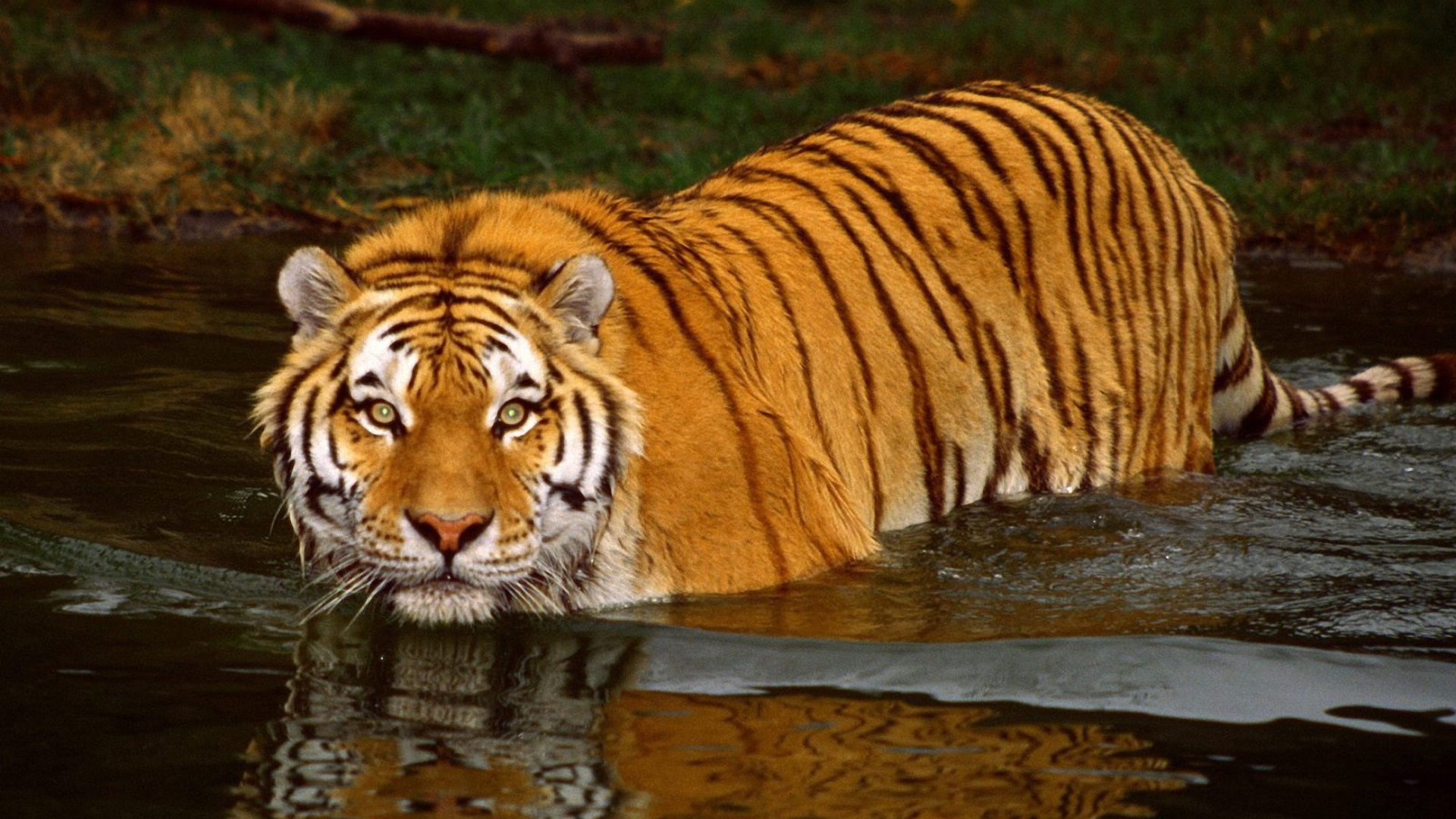 Bengal Tiger - Facts, Pictures, Habitat, Information, Diet ...
