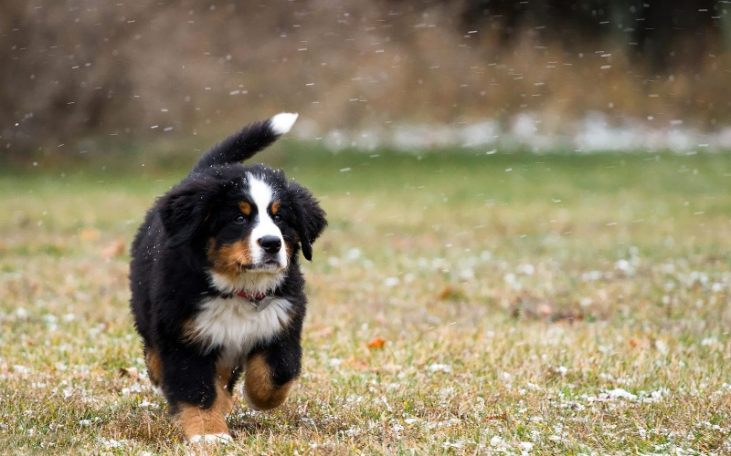 Bernese Mountain Dog Names For Females