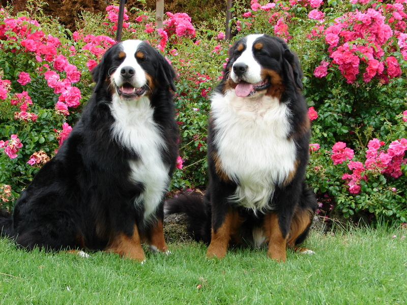 Bernese Mountain Dog Names For Males