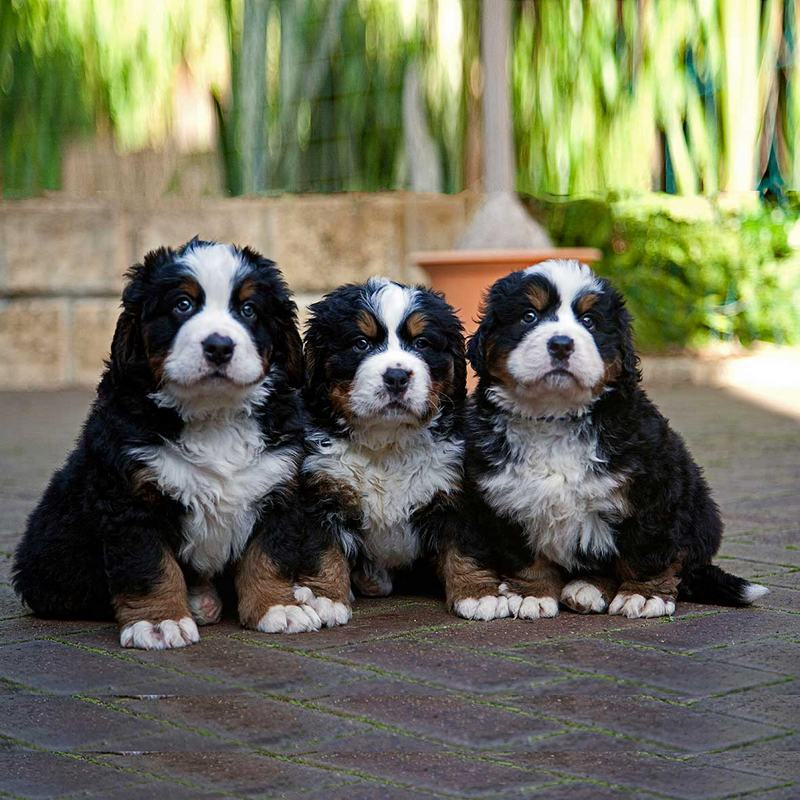 Bernese Mountain Dog Puppy Perth
