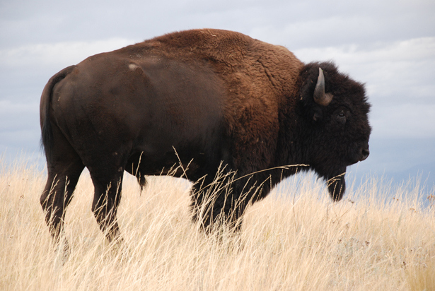 buffalo the great animal of the Buffalo are the largest animals found in north america and can grow to 6-7 feet long, weighing up to 2,000lbs  great wall of china  download the buffalo facts .