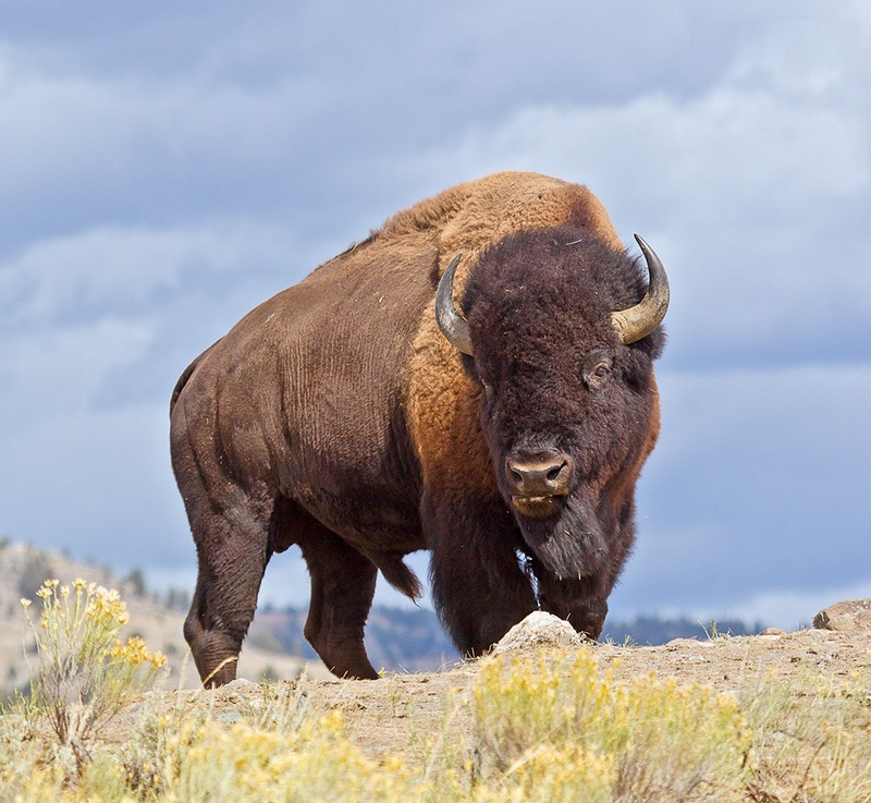 Bison Facts Pictures Info Diet Lifecycle Appearance