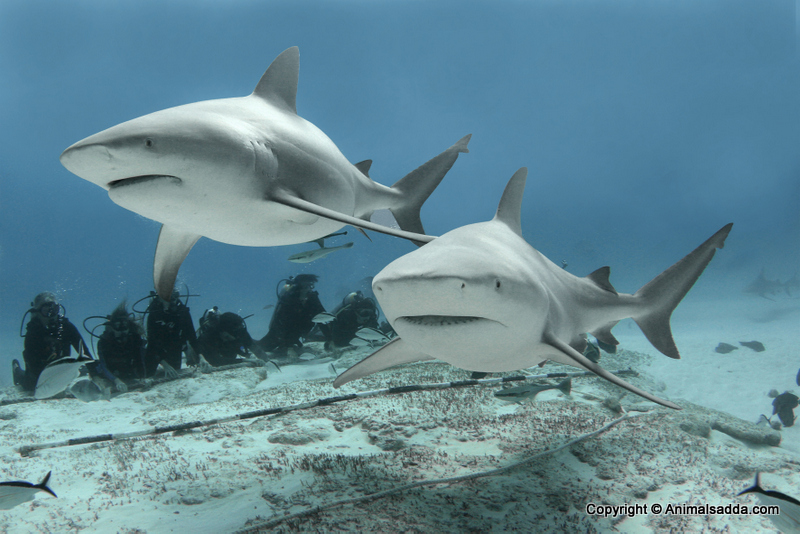 What do bull sharks eat?