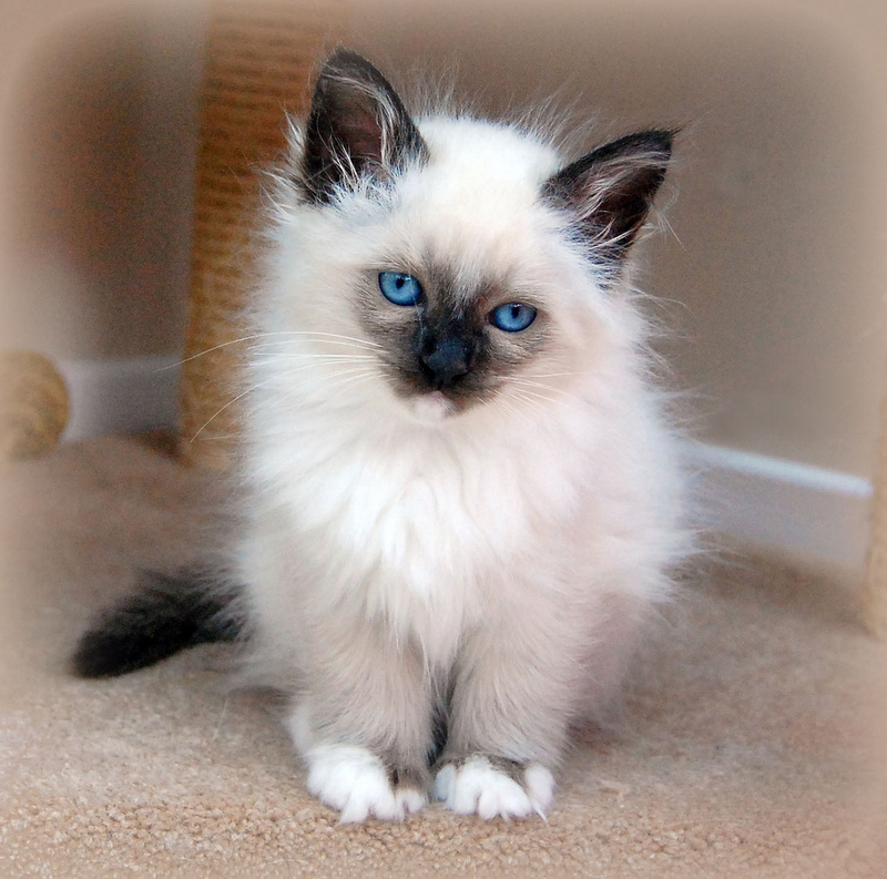 Birman Cat Facts Pictures Characteristics Diet