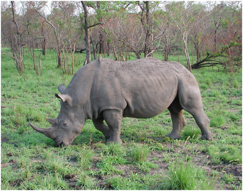 Black Rhinoceros - Facts, Pictures, Diet, Habitat, Info ...