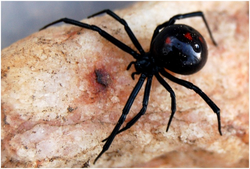 Black Widow Spider - Facts, Pictures, Lifecycle, Info ...