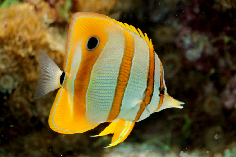butterfly fish facts pictures diet breeding