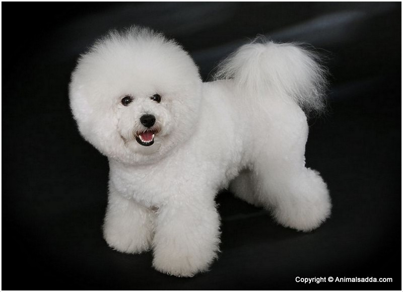 Bichon Frise Puppies Pictures Rescue Appearance