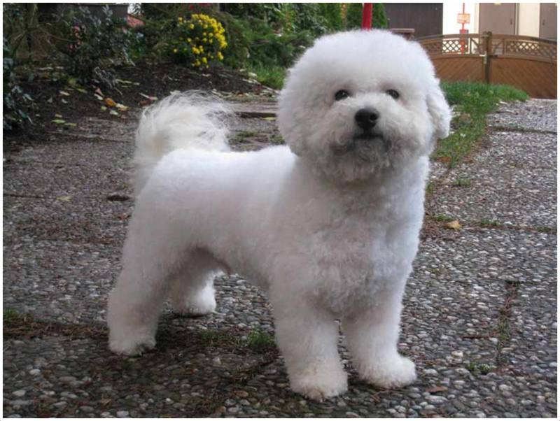 Bichon Frise - Puppies, Pictures, Rescue, Appearance, Facts, Breeders ...