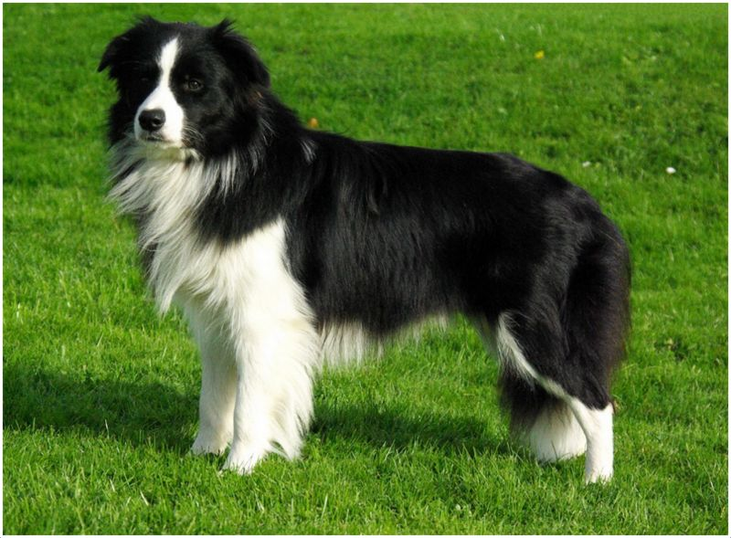 Border Collie - Puppies, Pictures, Diet, Breeding, Facts ...